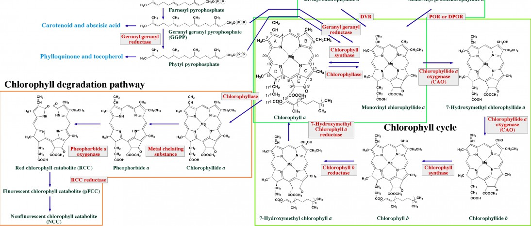 Chlorophyll biosynthetic pathway