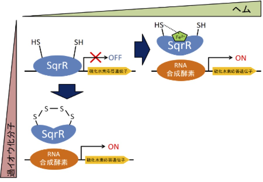 Signaling pathway in photosynthetic bacteria